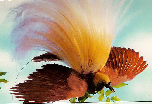 100  Gambar Burung Cendrawasi Yg Cantik HD Terbaru
