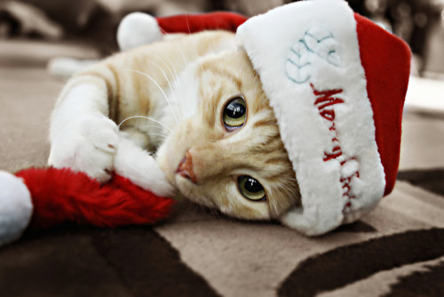 Merry Christmas - Cat