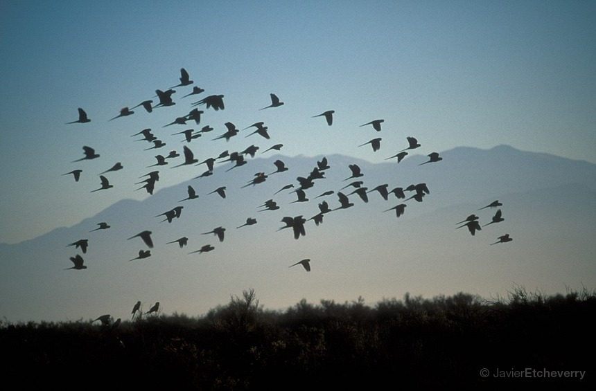 Flock of  birds at Talampaya National Park La Rioja Cuyo
