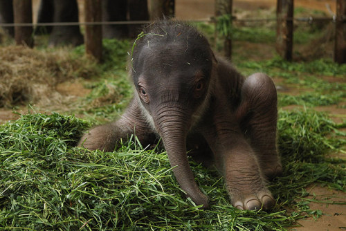 animals-animals-animals: Two Day Old Baby Asian Elephant (by Sean Gallup)