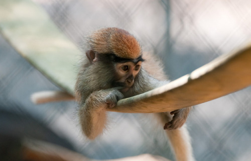 animals-animals-animals: Patas Monkey (by Eric Kilby)
