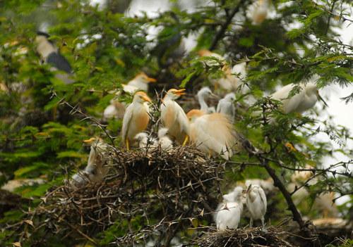 Aves ninho nos galhos de uma árvore na área natural protegida de La Barra, na cidade de Metapan.  Dezenas de pássaros foram encontrados mortos nas últimas semanas na zona governamental protegido de La Barra, um refúgio de nidificação para a garça branca e outras aves selvagens, de acordo com membros da Associação de El Salvador de Resgate Bird (ALAS).  Os membros da organização não-governamental está pesquisando se o uso de pesticidas nas plantações de milho localizadas perto da reserva natural está causando a mortalidade anormalmente elevado de garças e seus filhotes, e outros pássaros na área da fotografia: Ulises Rodriguez / Reuters