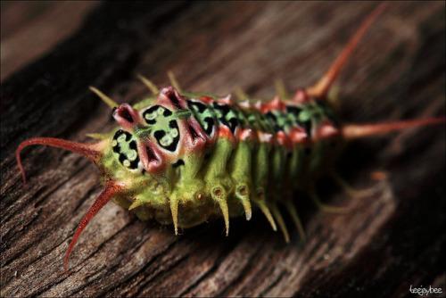 animals-animals-animals: Four-spotted Cup Moth (Doratifera quadriguttata) (by teejaybee)