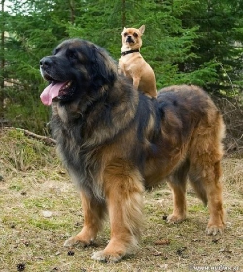 clutterbuckets:</p> <p>Here, have a picture of a chihuahua riding a leonberger