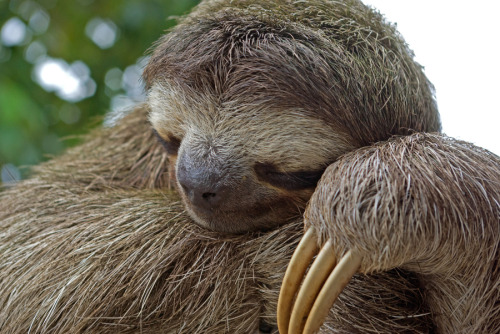 animals-animals-animals: Three-toed Sloth (by JP Lawrence)