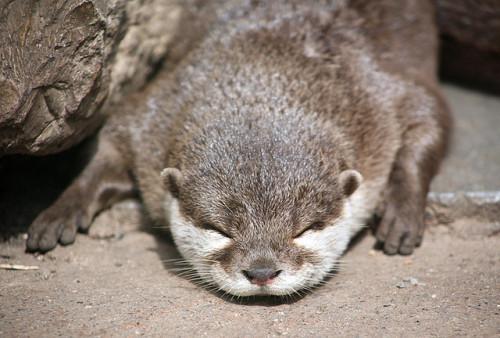 worldlyanimals:</p> <p>Asian Short-Clawed Otter(sometimesong)<br />