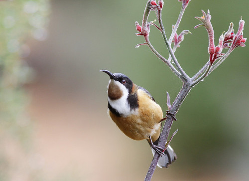 animals-animals-animals: Eastern Spinebill (by 0ystercatcher)