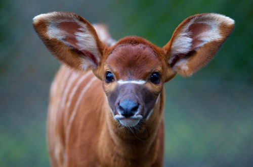 animals-animals-animals: Eastern Bongo Calf (by Dublin Zoo)