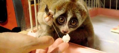 laughingsquid: A Big-Eyed Slow Loris Simply Eating Rice