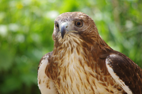animals-animals-animals:</p> <p>Red-tailed Buzzard (Buteo jamaicensis) (by Dave Hamster)