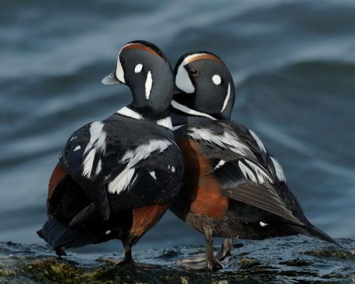 animals-animals-animals: Harlequin Ducks (by Mark Schwall)