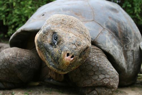 animals-animals-animals: Giant Tortoise (by Eden and Josh)