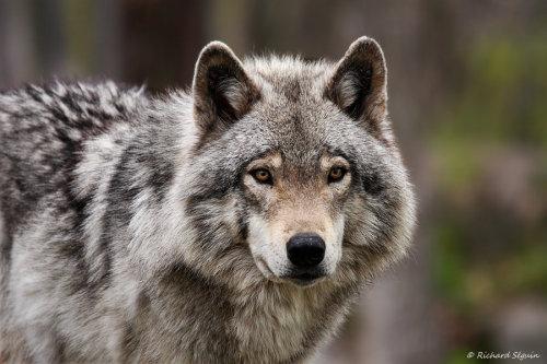 animals-animals-animals: Wolf (by purple007)