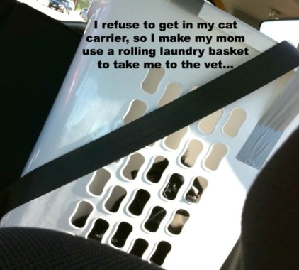 """I refuse to get in my cat carrier, so I make my mom use a rolling laundry basket to take me to the vet."" He looks like such an idiot being rolled into the vets office. And yes, I have to use the seat belt to keep him upright in the car. I'm ashamed for him…"