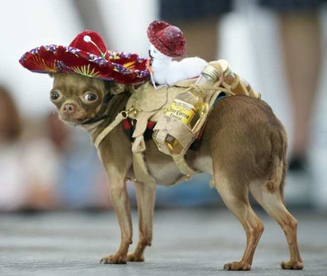 A small Mexican chihuahua