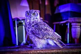 live owl at the twin peaks fest