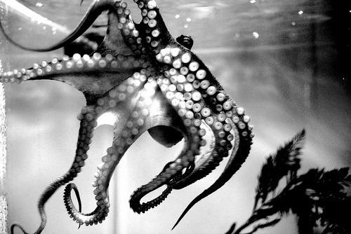 bw-octopus
