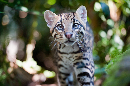 theanimalblog: Ocelot (Leopardus pardalis) (by Gio'71)