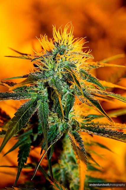 """""""Maconha serve de remédio deste sempre. O primeiro tratado de ervas medicinais que se conhece, o Pen Tsao, concebido há 4.700 anos na China, já inclui referência destacada à cannabis, e há registros de usos médicos em praticamente todas as civilizações antigas. Extrato de cannabis era remédio na Índia desde a Antiguidade e, quando os ingleses chegaram lá, logo descobriram suas virtudes medicinais. Por isso, o Império Britânico exportava extrato de cannabis, que era vendido em farmácias do mundo todo, e provavelmente foi o anestésico mais usado contra dor de cabeça até o século XIX, quando a aspirina foi inventada.""""<br /><br /><br /> """"No México, faz séculos que é usada por curandeiras nas comunidades rurais, como parte importante da tradicional medicina à base de ervas, indicada para várias doenças, entre elas glaucoma e bronquite.""""""""A planta foi [na história da humanidade, até o alvorescer do século XX e do proibicionismo fundamentalista…] também importantíssima na economia mundial, já que a fibra de seu caule, o cânhamo, era a principal matéria-prima de tecidos e papéis. Tecidos de cânhamos foram empregados nas telas dos pintores da Renascença, nas velas dos barcos das Grandes Navegações e no papel da Declaração de Direitos que fundou os Estados Unidos da América.""""<br /><br /><br /> """"Era, talvez até mais que o trigo, uma planta em relação simbiótica com a humanidade, cultivada por muitos povos e utilizada para os mais diversos fins. Era também uma planta em coevolução com a humanidade, cujos genes refletiam as necessidades humanas, porque eram selecionados pelo homem.""""DENIS RUSSO BURGIERMAN, ex-diretor de redação da revista Superinteressante (Editora Abril),em seu livro """"O fim da Guerra: A Maconha e a Criação de um Novo Sistema Para Lidar com as Drogas""""(Editora Leya, 2011). LEGALIZE JAH!"""