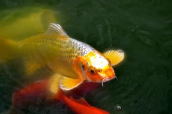 Fish Pond - Top Mast Cafe