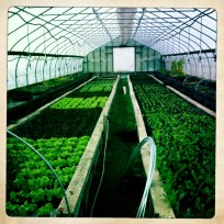 hoop house full of greens.