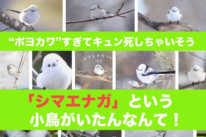 """「シマエナガ」という小鳥が""""ポヨカワ""""すぎてキュン死しちゃいそう!"""