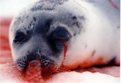 97 percent of seals killed for Canada's annual slaughter are under the age of 3 months and the majority are under 1 month.  At the time of slaughter, many pups have never eaten their first solid meal or taken their first swim. (source)