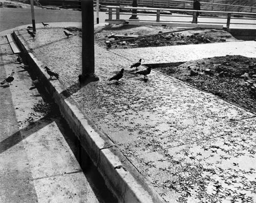 Pigeons in Cement