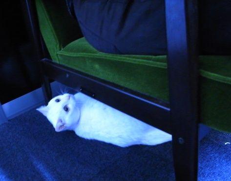 ソファの下から覗くダイゴロウさん