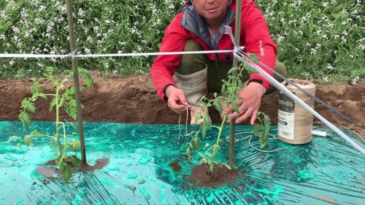 農家がトマト栽培の基本を教えます  Tomato