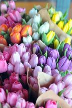 tulipes spring