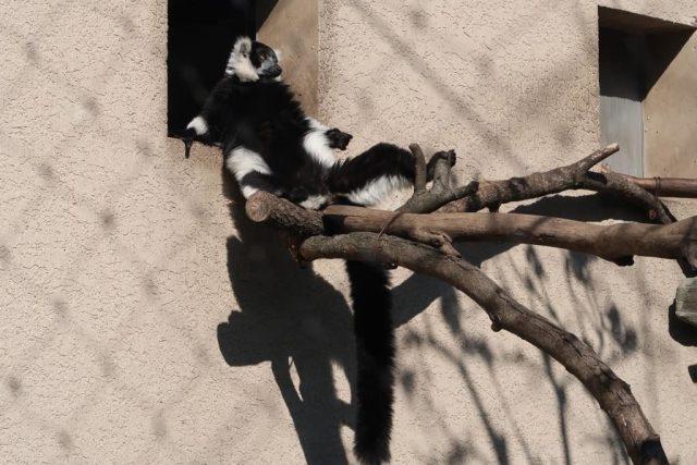 Black and White Ruffed Lemur suntanning at Tokyo Zoo
