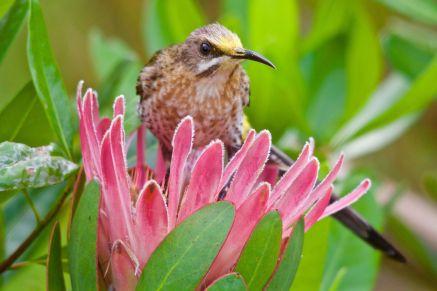 Cape Sugarbird on a Protea