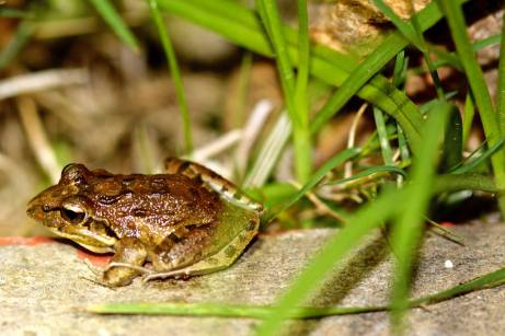 Clicking Reed Frog 1