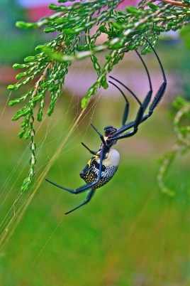 Nephila Golden Orb Spider