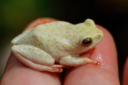 Painted Reed Frog 3