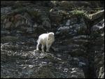 thumbnail.large.4.1261919284.baby-goat-at-logan-pass