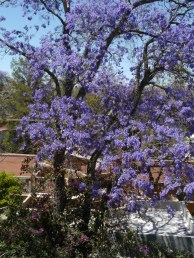 Jacaranda Tree from Rooftop Terrace