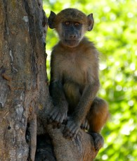 Juvenile Baboon