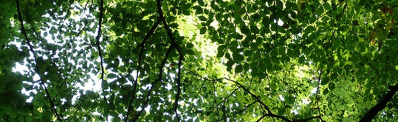 Sunlight Through Leaves 1_ 800x245