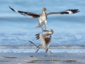 24 heures en images - Deux Chevaliers semipalmés se battent à Fort Desoto Beach, en Floride.