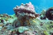 Yellow Hermit Crab - Bali
