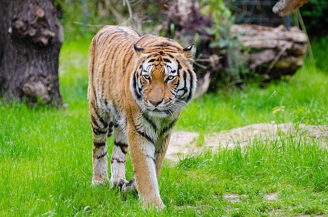 Image of: Wild Why Are Tigers Endangered The Homeschool Scientist Why Are Tigers Endangered The Homeschool Scientist