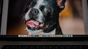 boston terrier face on laptop
