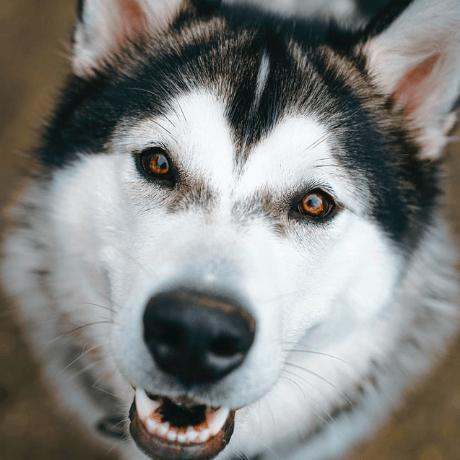 big dog plan