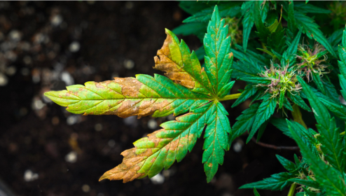Different Types of Cannabis Plant Nutrient Deficiencies