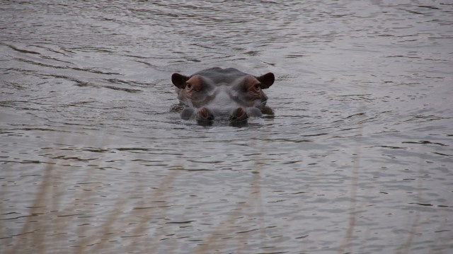 Hippo - Amazingwe, South Africa