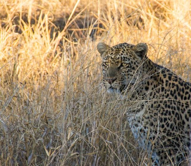 Annoyed leopard - Arathusa Safari Lodge, South Africa