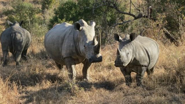 Rhinocerouses - Arathusa Safari Lodge, South Africa