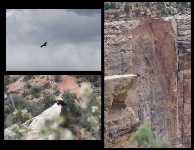 California Condor at the Grand Canyon